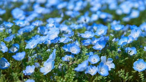 満開の青色のネモフィラの花畑