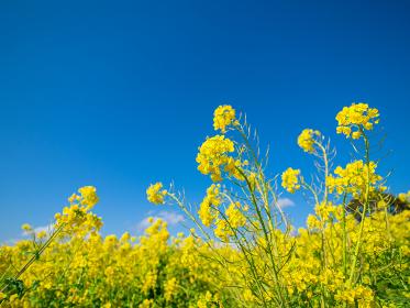 青空と満開の菜の花 2月の二宮町吾妻山公園の風景