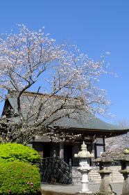桜の咲く知覧特攻平和会館の美しい風景「縦構図」