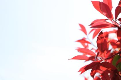 真っ赤なカナメモチの若葉