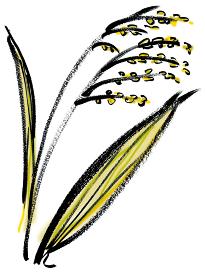 手描きイラスト素材 植物 いなほ, 穀類 稲穂 稲 イネ