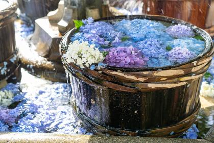 美しい初夏の風物詩 アジサイの花手水