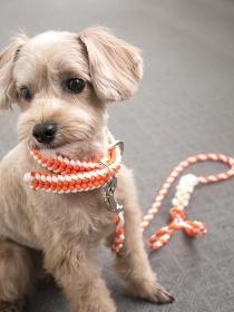 じっとおすわりするかわいいアプリコットの小型犬【マルプー】