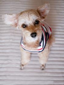 おすわりしてカメラ目線のかわいいアプリコットの小型犬【マルプー】