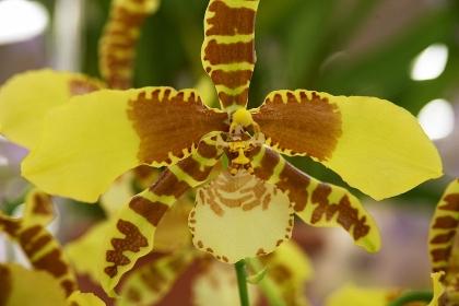 黄色地に茶系の縞模様を見せる洋蘭