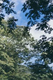 見上げる樹木と青空
