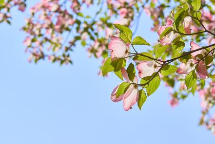 逆光で光が透けているピンク色のハナミズキの花