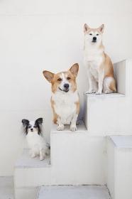 柴犬とパピヨンとコーギー
