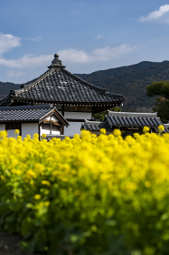 菜の花咲く飛鳥寺
