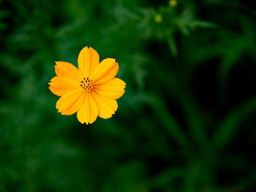 野原に咲くキバナコスモス 8月