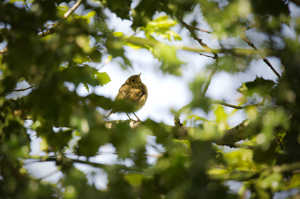 A juvenile robin perched bird in a tree with leaves in the foreground