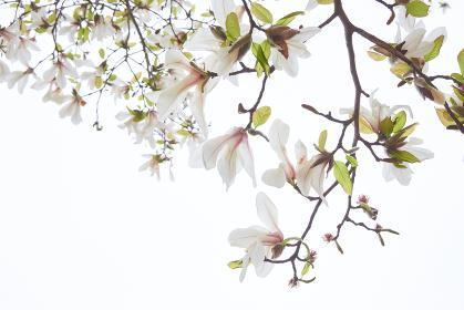 満開の白いコブシの花 白背景