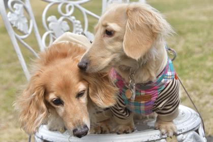 椅子の上で並ぶ犬