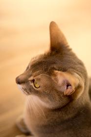 ネコ(アビシニアン)・室内・見つめる
