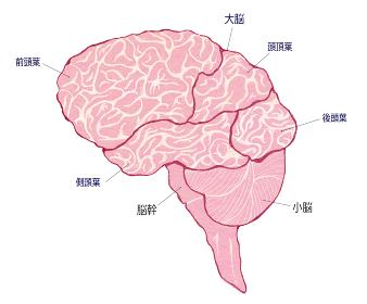 脳の全体像 分割