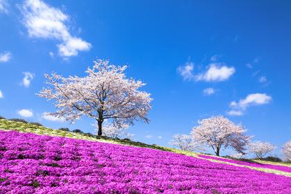 桜と芝桜の競演