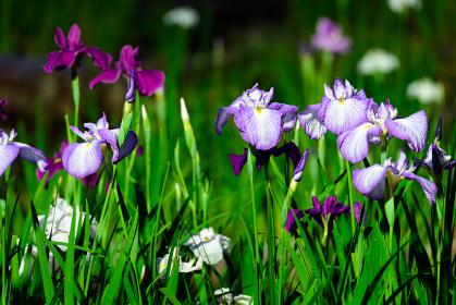 初夏の綺麗な花菖蒲
