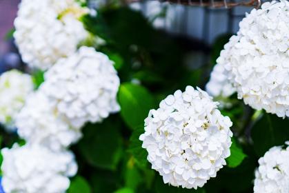 あじさい 園芸 ガーデニング 梅雨