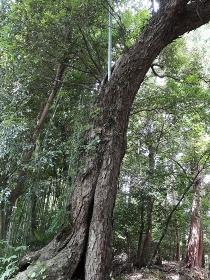 空洞となった巨木の幹から生える竹