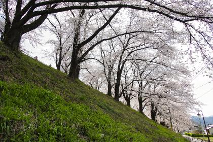 甚六桜公園に咲き誇るソメイヨシノ