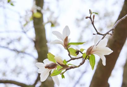 白いコブシの花の枝先