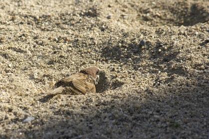 児童公園の砂場で砂浴びをして涼をとるスズメ