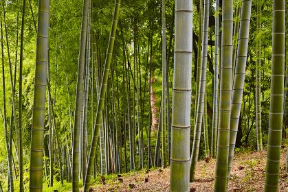 黄緑色の孟宗竹の竹林