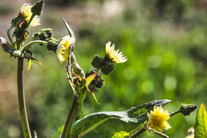 タンポポに似た黄色い花を咲かせるオニノゲシ