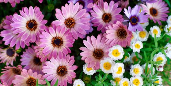 満開の花、オステオスペルマム(アフリカキンセンカ)