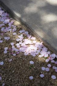 木漏れ日の下に落ちた桜の花びら