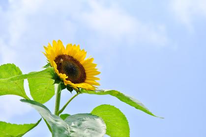 太陽を向く夏のヒマワリ