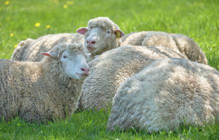 木陰で休む羊たち