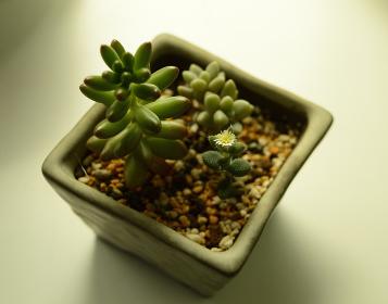 小さい植木鉢に植えた多肉植物