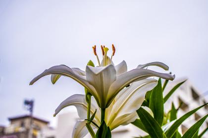 ユリの花(屋外・植物・花・百合)