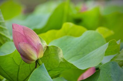 夏 蓮の花の咲く頃