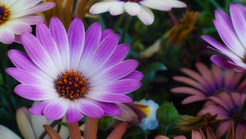 紫色の花、オステオスペルマム(アフリカキンセンカ、アフリカンデージー)