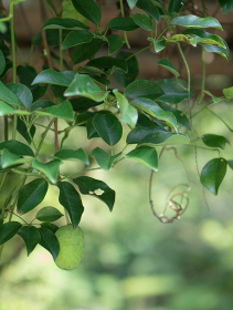 まだ熟していない緑色のムベの実
