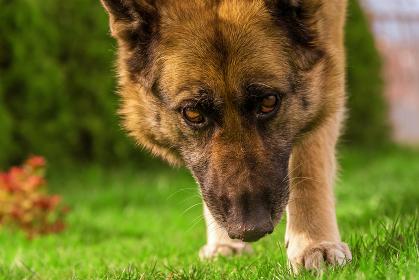 German shepherd close view on face. , Sinemorets, Burgas, Bulgaria