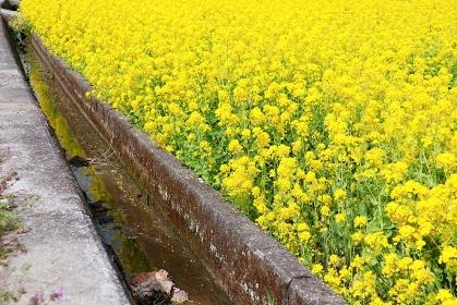 菜の花と田んぼの用水路