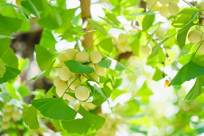 いちょうの木と銀杏の実
