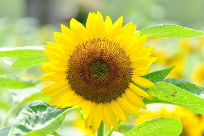正面に咲く向日葵の顔