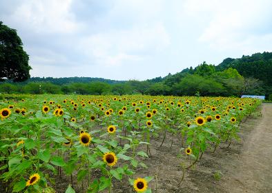 畑で満開に咲いた沢山のヒマワリ