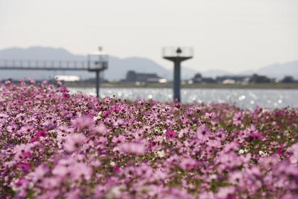 遠賀川のコスモス 福岡県中間市