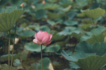 咲き始めた蓮の花 6月