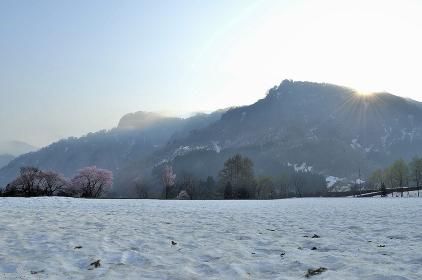 残雪の上に咲くサクラ