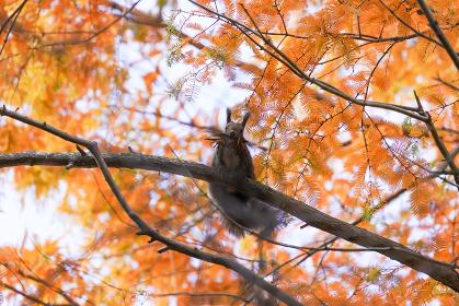 紅葉とエゾリス