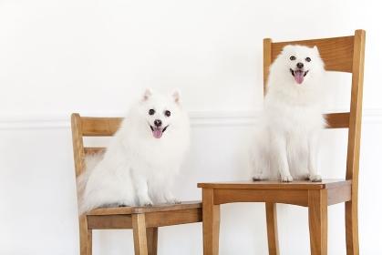 椅子の上でおすわりをするスピッツ2匹