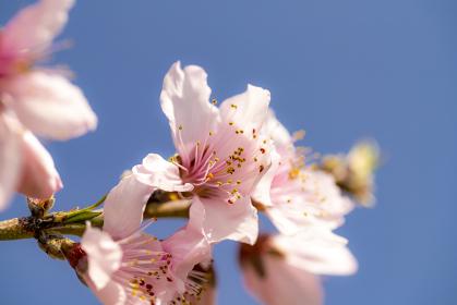 春に満開の桃の花