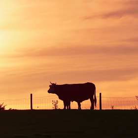 cow and sunset in the meadow