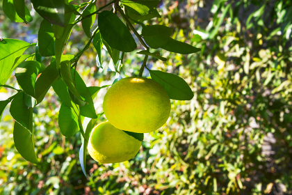 11月に実る柑橘類